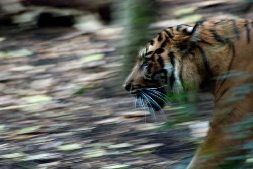Fast Moving Predator