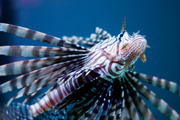 The Lion Fish - King of the Underwater Jungle